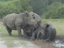 Nashörner im Lion Country Safari © osseous