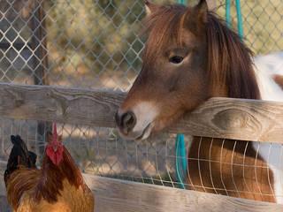 Pony und Huhn im California Living Museum. © David~O