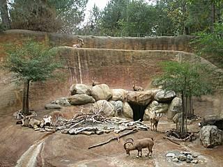 Nubische Steinböcke im Zoo von Los Angeles. © Anika Malone