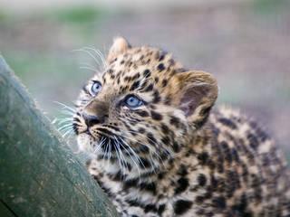 Baby Leopard © MacJewell